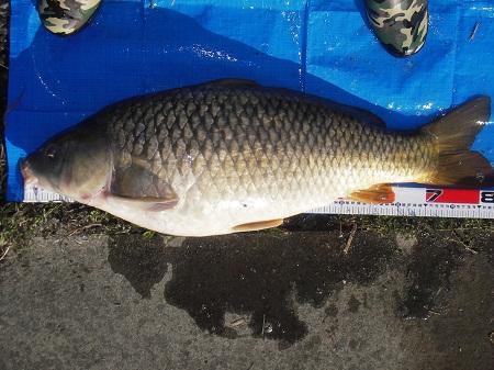 中川 鯉 83cm