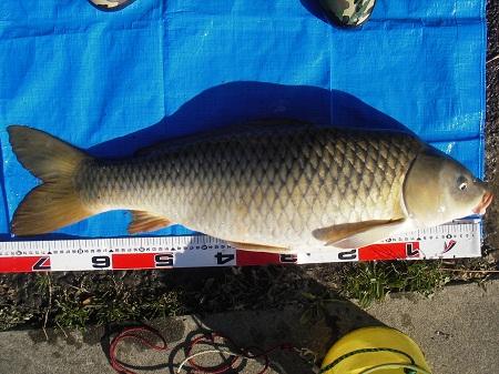 中川 鯉 76cm