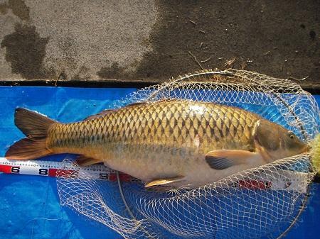 中川新宿水門旧排水 鯉 96cm