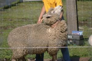 羊さんの毛刈り1