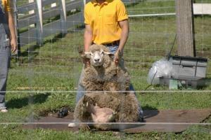 羊さんの毛刈り2