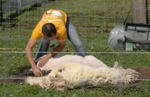 羊さんの毛刈り5