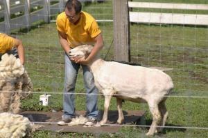 羊さんの毛刈り6