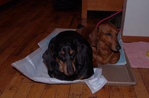 サムディの看板犬