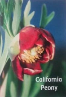 california peony