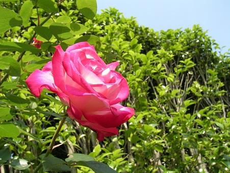 薔薇背景2