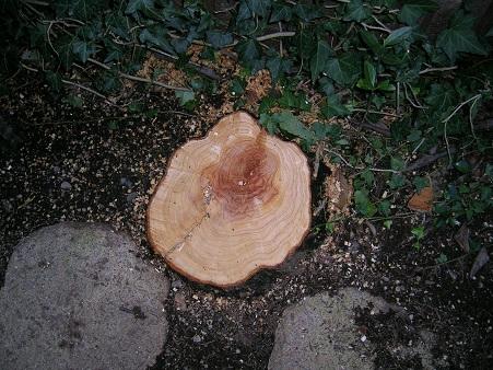 2011ゴールドクレスト伐採後