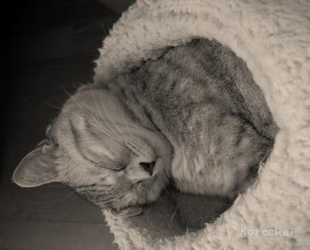 sakura_cat_猫_Kotechai