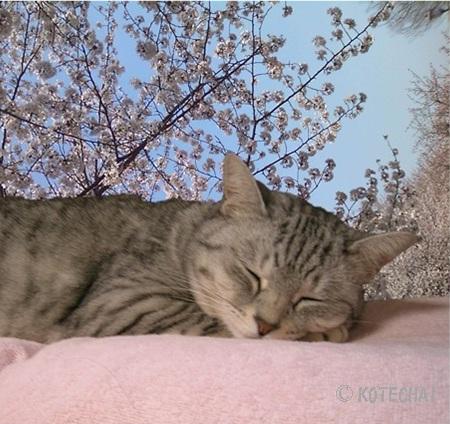 Sakuraは桜の夢を見る_kotechai_20130226_01