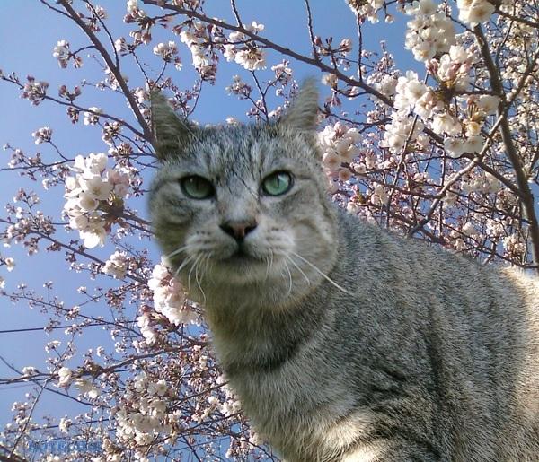 cool_cat_Haichan_Kotechai20130226-sakura