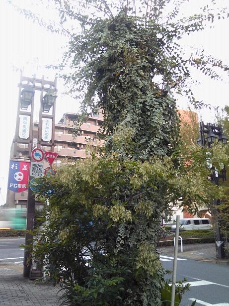 高円寺の街路樹2014