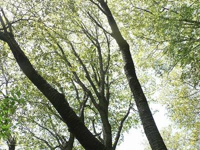 櫻の園のヤマザクラ