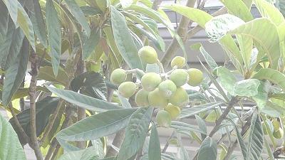 久保田自宅にある琵琶の木です