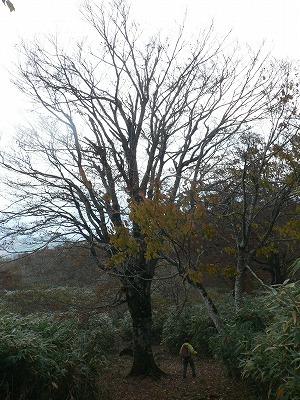 登山道にあるブナの巨木