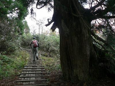 杉の群落が2か所あります