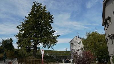 茨田樋遺跡水辺公園です。大イチョウがみえます