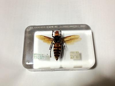 IMG_0743●オオスズメバチ封入標本