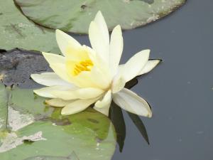 蓮の花 ①