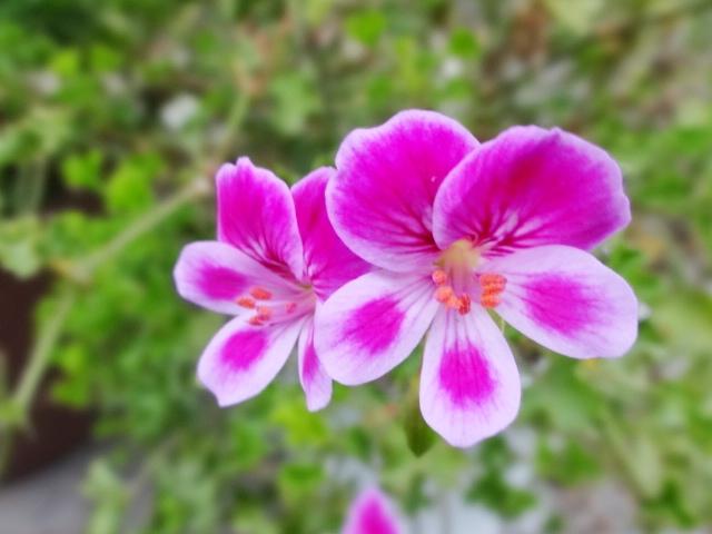 ピンクの花_20130926