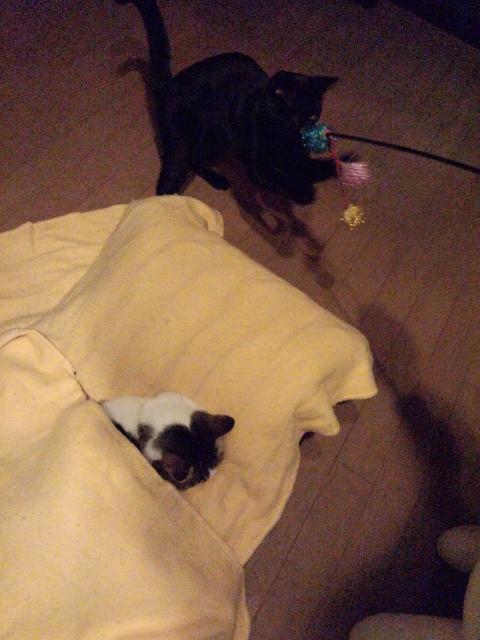 寝てるチィと遊ぶノラ