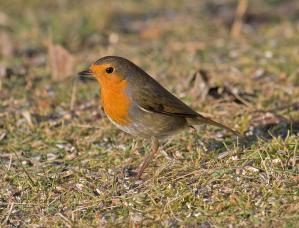 788px-European_Robin.jpg