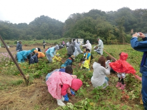 雨降り芋掘り