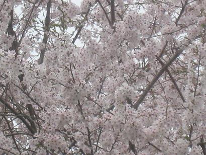 4/21 ソメイヨシノ