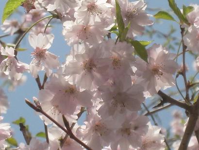 4/24 八重の桜