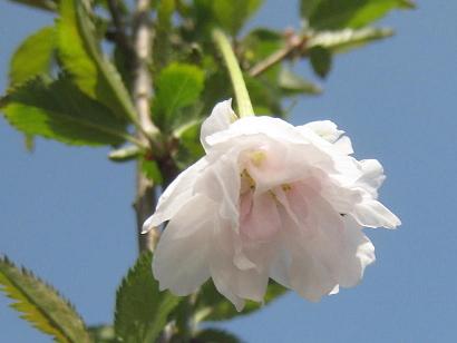 4/24 富士桜(八重咲き)