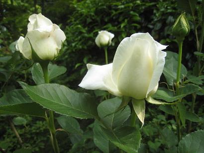 5/24 裏庭の白バラ