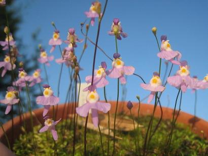 6/10 クリオネ(Utricularia warburgii)