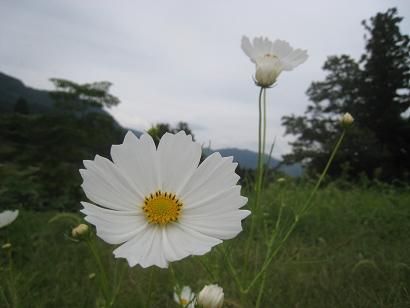 9/29 コスモス