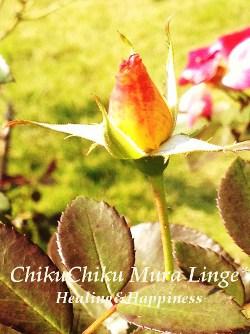 薔薇の蕾★