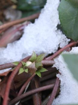 雪の下のクリスマスローズの蕾