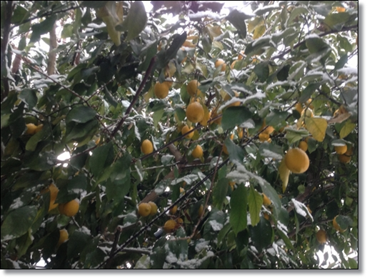 雪をかぶったレモン
