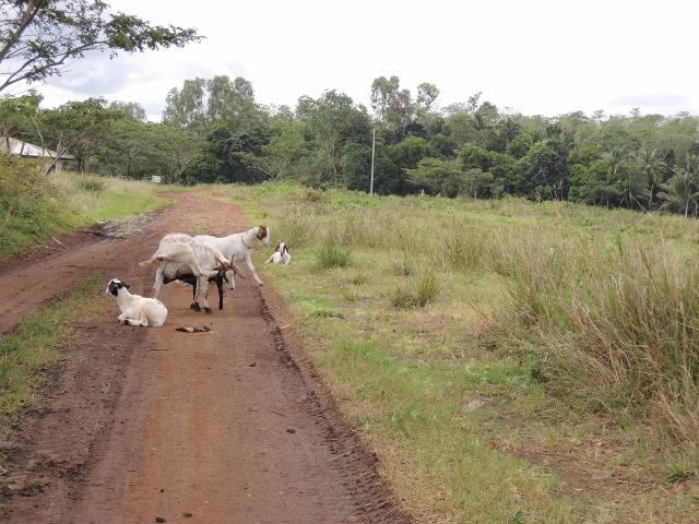 cows (3)