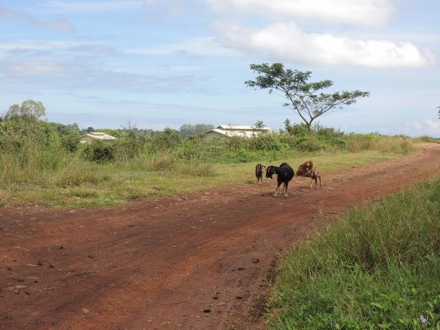 cows (5)