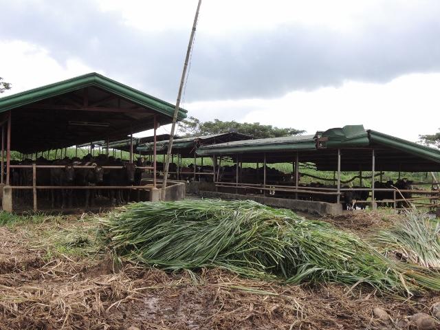 cows (6)