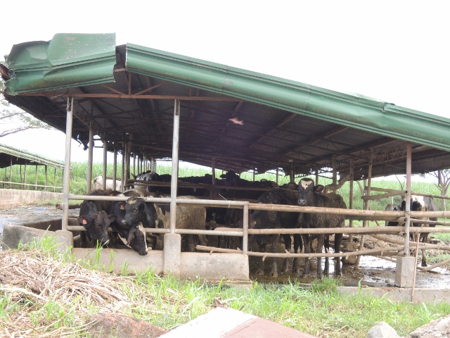 cows (7)