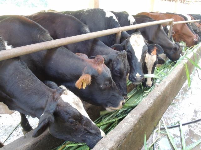 cows (16)