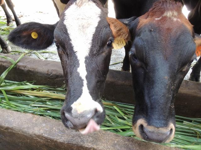 cows (17)