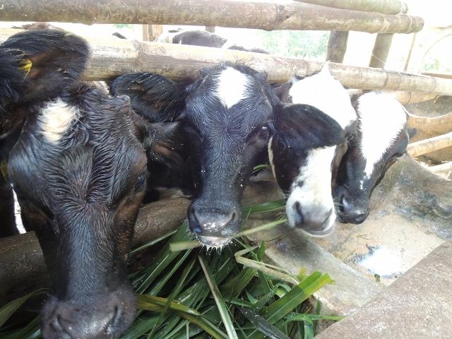 cows (22)
