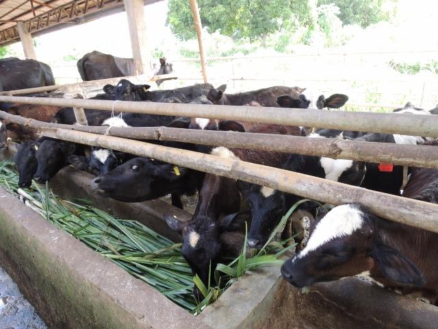 cows (23)