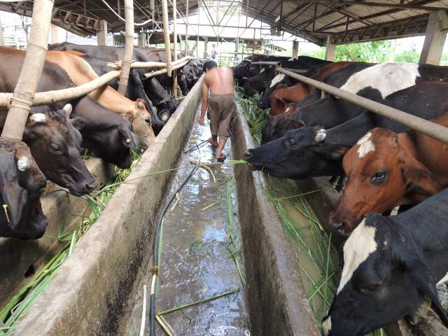 cows (25)