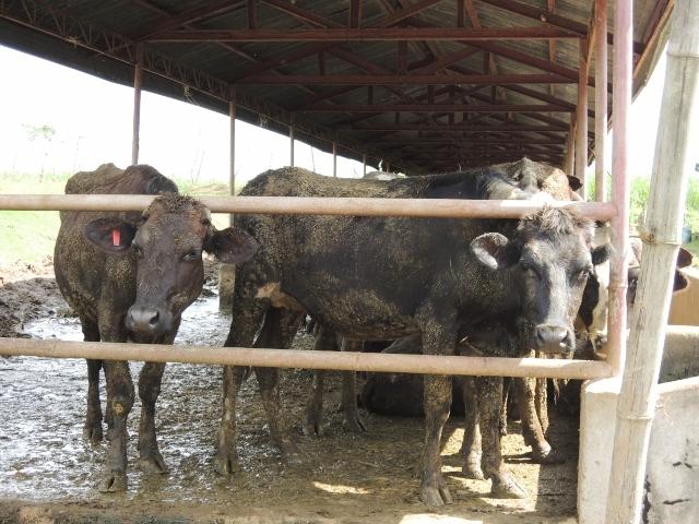 cows (27)