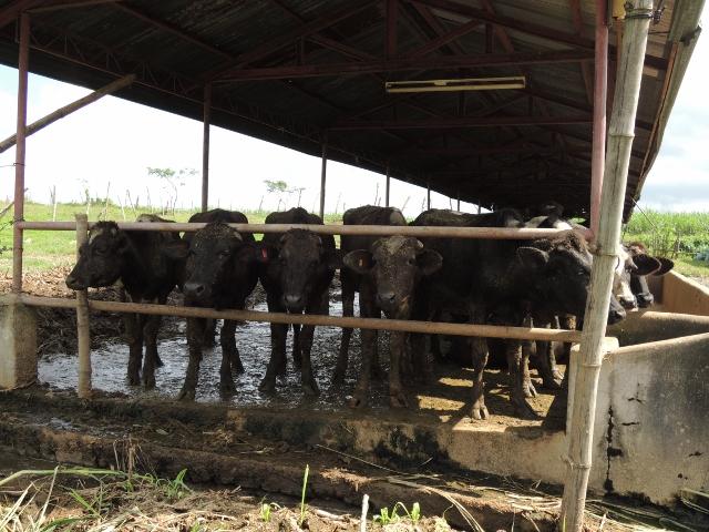 cows (28)