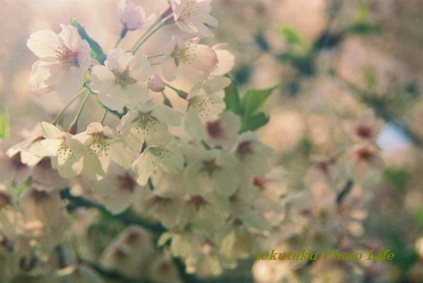 20120428桜アップ