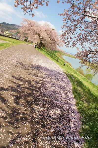 20120428桜の絨毯