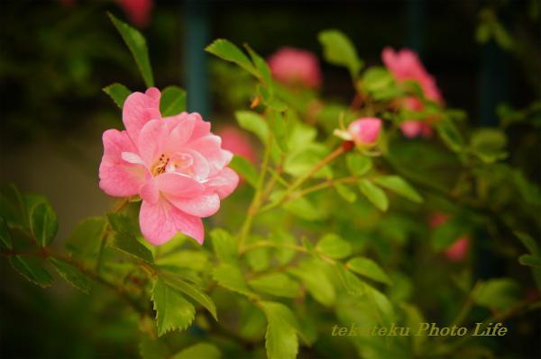 ミニ薔薇オベリスク