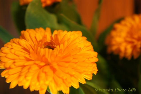 1302金盞花